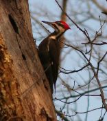 Pileated-Woodpecker---Photo-by-Leo-Laverdure