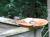 Titmouse-and-chickadee-at-a-birdbath---Photo-by-Wynne-Treano