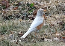 Hypopigmented, or piebald, American Robin - photo by Chriztine Foltz