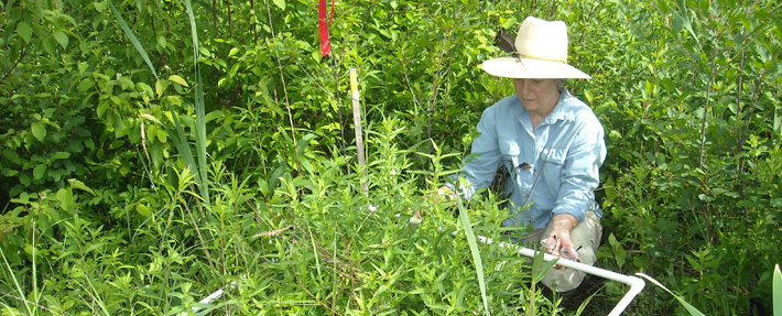 NRWA volunteer monitors a loosestrife plot