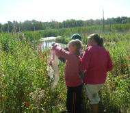 Controlling purple loosestrife through the release of Galerucella beetles