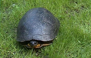 Blandings Turtle – Photo by G. Coffey