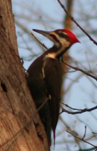 Pileated Woodpecker – Photo by Leo Laverdure