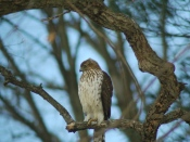 Juvenile Cooper's hawk - photo by Mark Archambault